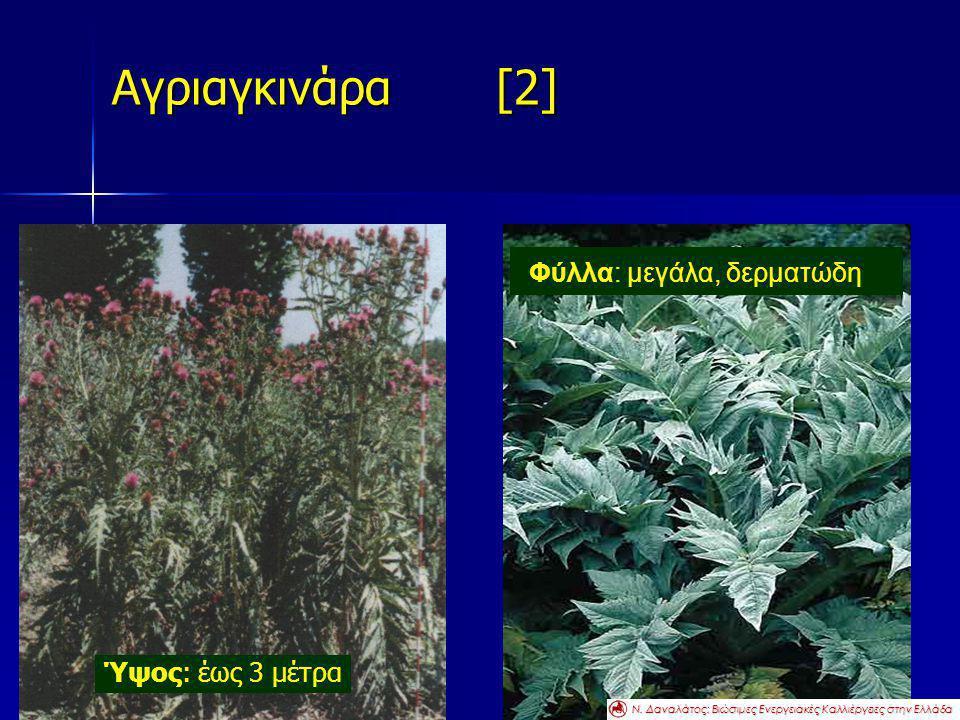 Αγριαγκινάρα [2] Φύλλα: μεγάλα, δερματώδη Ύψος: έως 3 μέτρα